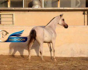 خرید اسب و فروش اسب_ کره دوران 1