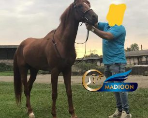 خرید اسب و فروش اسب_فرات