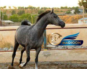 خرید اسب و فروش اسب_مادیون عرب مصری آبستن