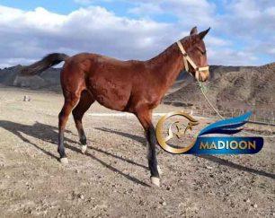 خرید اسب و فروش اسب_ کره اسب سقرقوش