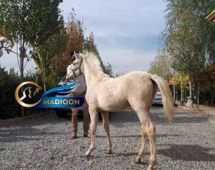 خرید اسب و فروش اسب_ کره اسب ترکمن