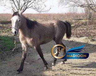 خرید اسب و فروش اسب_کره مادیون پرخون