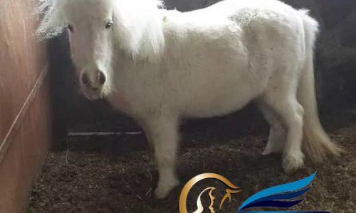خرید اسب و فروش اسب_مادیون فلابلا