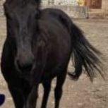 خرید اسب و فروش اسب_اسب یک سر خارجی شارلوت
