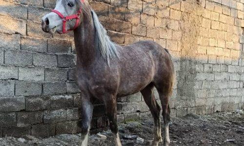 خرید اسب و فروش اسب_ پاشا
