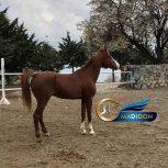 خرید اسب و فروش اسب-نریان عرب پرشی