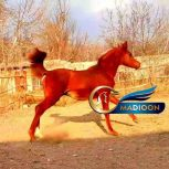خرید اسب و فروش اسب_نریان عرب مصری