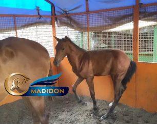 خرید اسب و فروش اسب_کره نریان آخال تکه