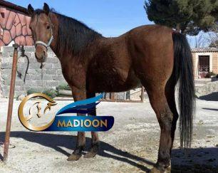 خرید اسب و فروش اسب_اسب کرد 3 ساله