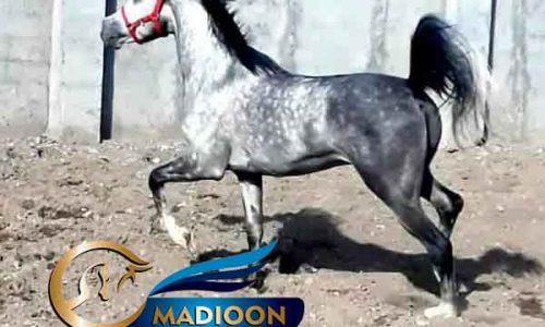 خرید اسب و فروش اسب_سیلمی یونایتد پاشا