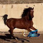 خرید اسب و فروش اسب_اسب کرد 4 ساله