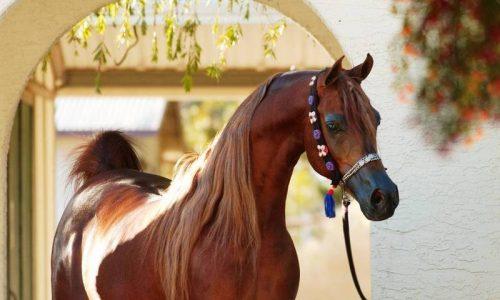 جشنواره فروش و تهاتر برترین اسبِهای عربِ دنیا در ایران