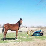 خرید اسب و فروش اسب_ اسب نریان وارداتی