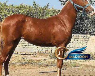 خرید اسب و فروش اسب_هرانوس