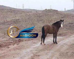 خرید اسب و فروش اسب_مادیون دره شوری