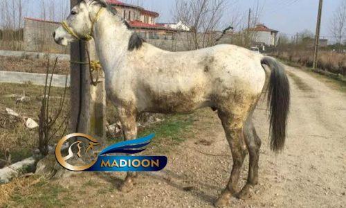 خرید اسب و فروش اسب_ نریان عرب ایرانی