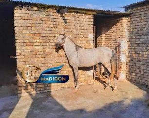 خرید اسب و فروش اسب_ نریان کرد