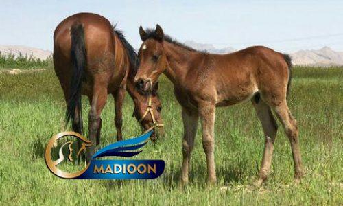 خرید اسب و فروش اسب_مادیون به همراه کره اسب