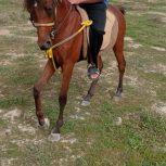 خرید اسب و فروش اسب_کره نریان عرب مدرک دار