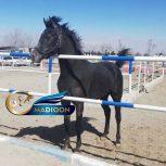 خرید اسب و فروش اسب_نریان یکسر عرب
