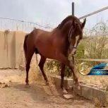 خرید اسب و فروش اسب_ سالار خان