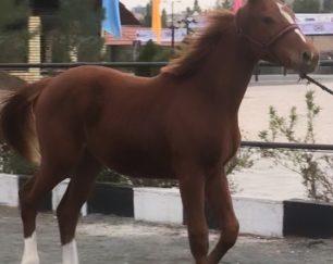 خرید اسب و فروش اسب_کره اسب دو سر خارجی پرشی