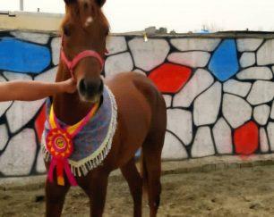 خرید اسب و فروش اسب_عرب مصری