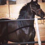 خرید اسب و فروش اسب_ دیبالا