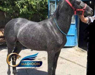 خرید اسب و فروش اسب_ نریان کرد سه ساله