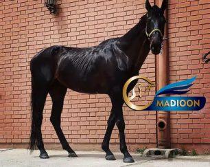 خرید اسب و فروش اسب- تروبرد سیلمی