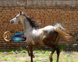 خرید اسب و فروش اسب_ اسب عرب یکسر خارجی
