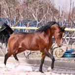 خرید اسب و فروش اسب_سیلمی عرب