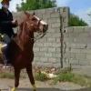 خرید اسب و فروش اسب_همن