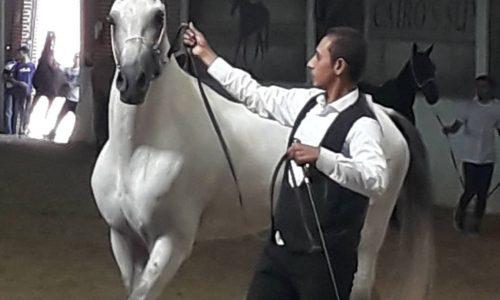 خرید اسب و فروش اسب_کشش سیلمی ترکمن فریاد
