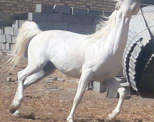 خرید اسب و فروش اسب_نریان کرد 8 ساله