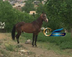 خرید اسب و فروش اسب_نریان ترکمن