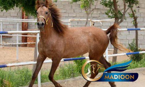خرید اسب و فروش اسب_مادیون عرب