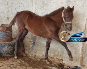 خرید اسب و فروش اسب_مادیون عرب کرد