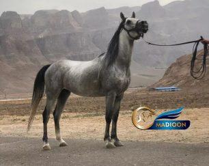 خرید اسب و فروش اسب_اژدر سیادت