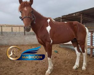 خرید اسب و فروش اسب_نریان کرد 5 ساله