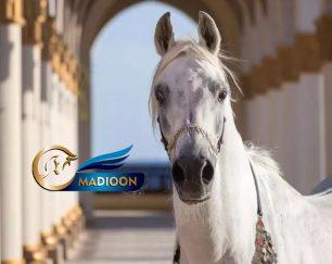 خرید اسب و فروش اسب_مادیون عرب آبستن