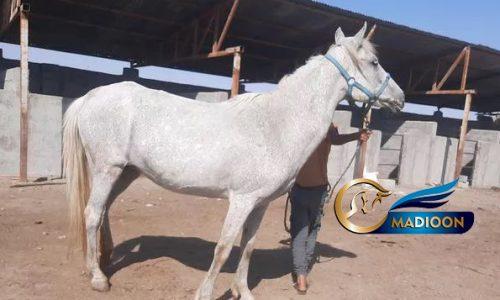خرید اسب و فروش اسب_مادیون ترکمن آبستن