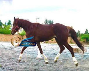 خرید اسب و فروش اسب_اسب نریان زیبا