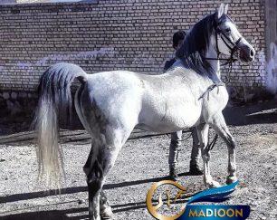 خرید اسب و فروش اسب_دلیرخان