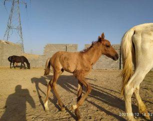 خرید اسب و فروش اسب_مادیان ترکمن با کره