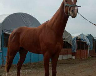 خرید اسب و فروش اسب_اسب پرشی دوخون
