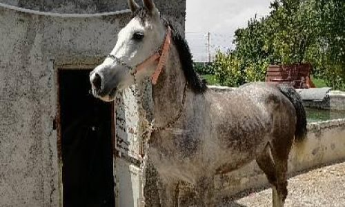 خرید اسب و فروش اسب_مادیان عرب ایرانی خالص