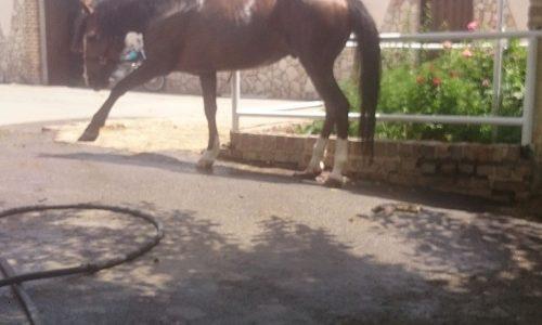 خرید اسب و فروش اسب_اسب سوار کاری