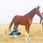 خرید اسب و فروش اسب_نریان ترکمن اصیل