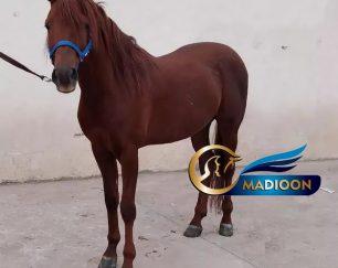 خرید اسب و فروش اسب_اسب عرب خالص ایرانی